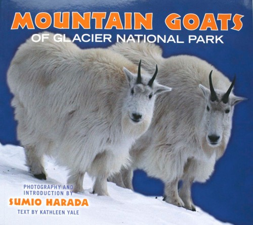 MOUNTAIN GOATS of Glacier National Park